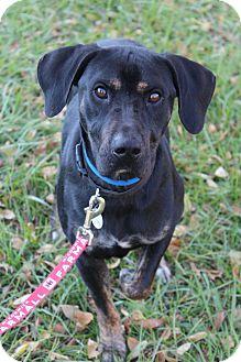 Labrador Retriever Mix Dog for adoption in Waldorf, Maryland - Pez