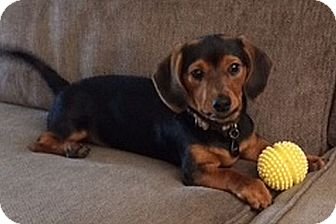 Dachshund/Chihuahua Mix Puppy for adoption in Georgetown, Kentucky - SCOOTER PUP