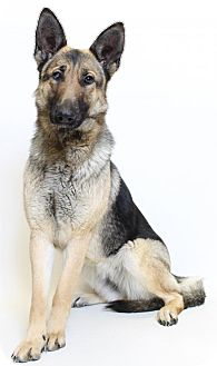German Shepherd Dog Dog for adoption in Truckee, California - Paisley