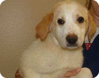 Great Pyrenees/Golden Retriever Mix Puppy for adoption in Oviedo, Florida - Bella