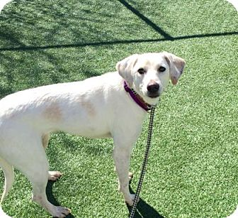 Retriever (Unknown Type) Mix Dog for adoption in Parma, Ohio - Wendy