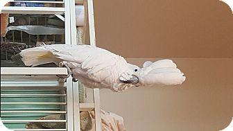 Cockatoo for adoption in Lenexa, Kansas - Taylor