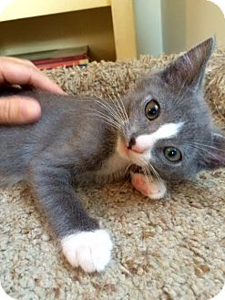 Domestic Shorthair Kitten for adoption in Los Angeles, California - Dewey