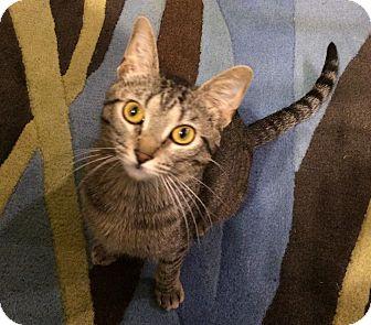 Domestic Shorthair Cat for adoption in St. Louis, Missouri - Hattie