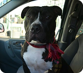 American Pit Bull Terrier/Bulldog Mix Dog for adoption in Afton, New York - Dude