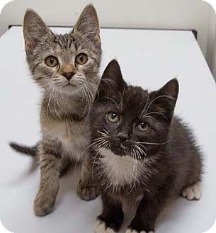 Domestic Shorthair Kitten for adoption in Merrifield, Virginia - Smedley