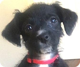 Boston Terrier/Dachshund Mix Puppy for adoption in Oakley, California - Baby Ariel