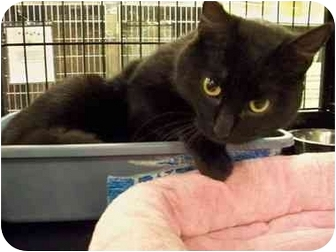 Domestic Shorthair Cat for adoption in Thousand Oaks, California - Smarty
