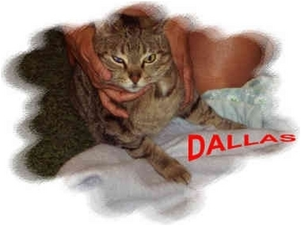 Domestic Shorthair Cat for adoption in Jacksonville, Florida - Dallas
