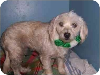 Poodle (Miniature)/Poodle (Miniature) Mix Dog for adoption in Bristow, Oklahoma - Yahoo