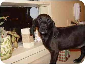 Labrador Retriever/Coonhound Mix Puppy for adoption in Wauseon, Ohio - Petunia..REDUCED FEE