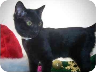 Domestic Shorthair Kitten for adoption in North Charleston, South Carolina - Highway