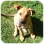 Photo 1 - Shepherd (Unknown Type) Mix Puppy for adoption in Portland, Oregon - Cha Cha