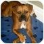 Photo 2 - Boxer Dog for adoption in Hamilton, Ontario - Maddie