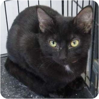 Domestic Shorthair Kitten for adoption in Muskogee, Oklahoma - Tammi