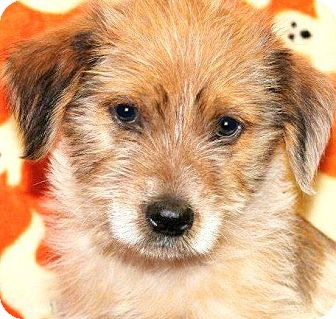 Wheaten Terrier Mix Puppy for adoption in Wakefield, Rhode Island - RUSTY(ADORABLE PUPPY!!)