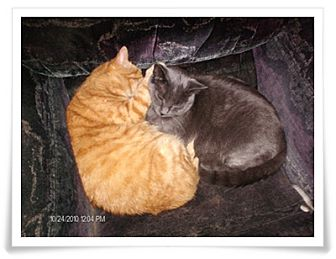 Domestic Shorthair Cat for adoption in Duart, Ontario - Shadow