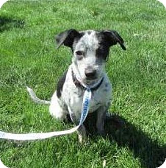 Terrier (Unknown Type, Small)/Australian Cattle Dog Mix Dog for adoption in Sacramento, California - Hiway