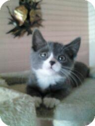 Domestic Shorthair Kitten for adoption in Horsham, Pennsylvania - Billy Jo