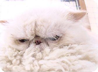 Himalayan Cat for adoption in Davis, California - Sean Patrick