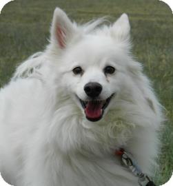 American Eskimo Dog Dog for adoption in Cheyenne, Wyoming - Chester