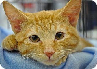 Domestic Shorthair Kitten for adoption in Great Falls, Montana - Nash