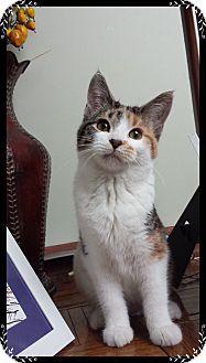 Domestic Shorthair Kitten for adoption in Mt. Prospect, Illinois - Love