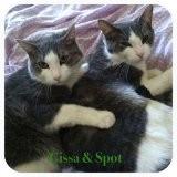 Domestic Shorthair Cat for adoption in Harrisburg, North Carolina - Gissa & Spot
