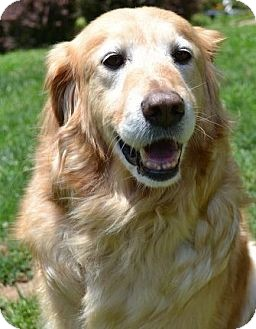 Golden Retriever Mix Dog for adoption in Knoxvillle, Tennessee - Tyson