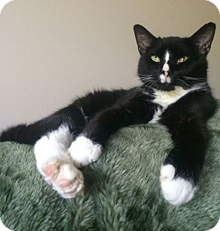 Domestic Mediumhair Cat for adoption in Knoxville, Tennessee - Oliver