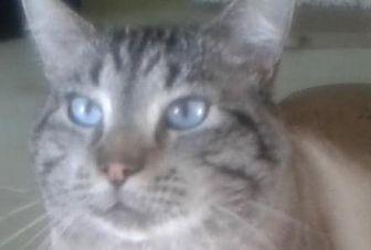 Siamese Cat for adoption in Elk Grove, California - Lamont