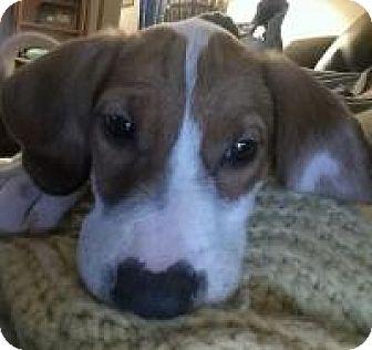 Beagle/Hound (Unknown Type) Mix Puppy for adoption in Marlton, New Jersey - Minnie