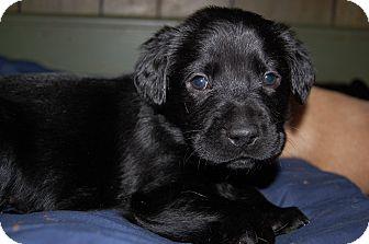 Labrador Retriever Mix Puppy for adoption in Charlotte, North Carolina - Storm
