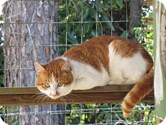 Domestic Shorthair Cat for adoption in Port St. Joe, Florida - Boyfriend