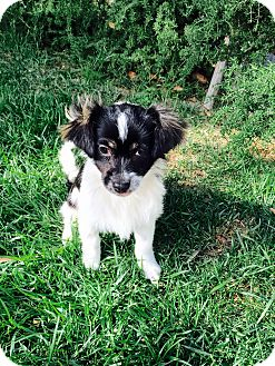 Papillon/Terrier (Unknown Type, Small) Mix Puppy for adoption in Yorba Linda, California - Orville- bonded with Wibur