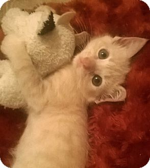 Domestic Mediumhair Kitten for adoption in Olive Branch, Mississippi - SUNNIE-URGENT!