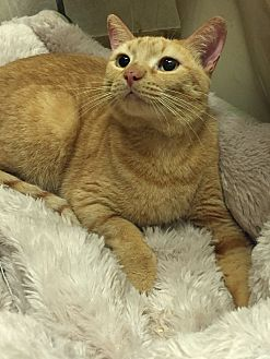 Domestic Shorthair Cat for adoption in Naples, Florida - Patsy