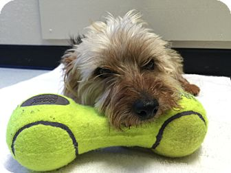 Yorkie, Yorkshire Terrier/Poodle (Miniature) Mix Dog for adoption in Lafayette, California - Max