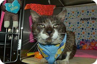 Domestic Shorthair Cat for adoption in Mebane, North Carolina - Yankee