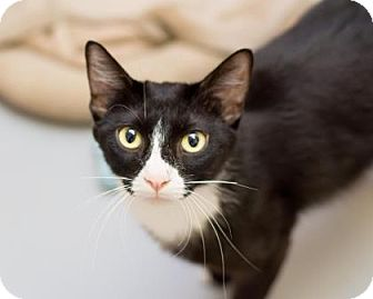 Domestic Shorthair Cat for adoption in Fountain Hills, Arizona - Blitz