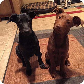 Labrador Retriever/Shepherd (Unknown Type) Mix Puppy for adoption in Concord, California - Pepper