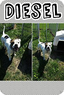Pit Bull Terrier/Bulldog Mix Dog for adoption in Bryan, Ohio - Diesel