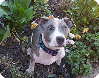 American Pit Bull Terrier Mix Puppy for adoption in Fulton, Missouri - Abby - Massachusetts