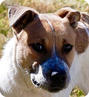Blue Heeler Mix Dog for adoption in Portola, California - Molly