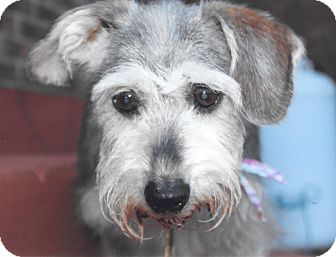 Miniature Schnauzer Dog for adoption in Sharonville, Ohio - Mabel