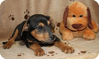 Labrador Retriever/Hound (Unknown Type) Mix Puppy for adoption in Salem, New Hampshire - Axle