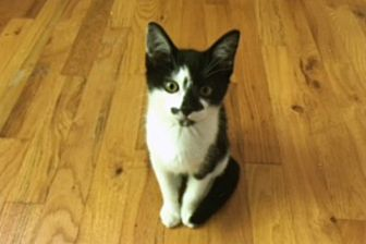 Domestic Shorthair Kitten for adoption in Durham, North Carolina - Josh