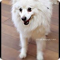 Adopt A Pet :: Mr. Snowflake - Elmhurst, IL