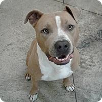 Adopt A Pet :: Jaxon - SHELBY TWP, MI