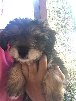 Schnauzer (Miniature)/Yorkie, Yorkshire Terrier Mix Puppy for adoption in LAKEWOOD, California - Bear